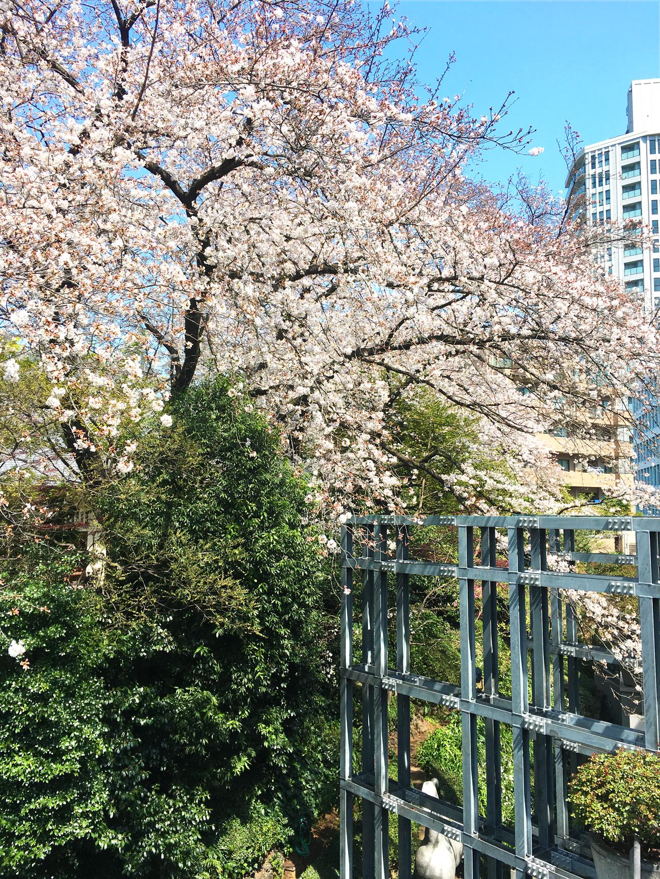満開の桜 東京デザインセンターにて撮影